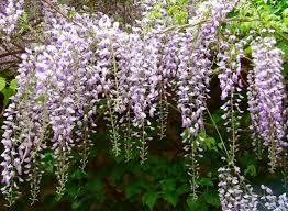 Purple Flower On A Vine - wisteria vine types care and propagation dengarden