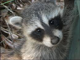 Rhode Island wild animals images Your rhode island wildlife removal co new england wildlife png