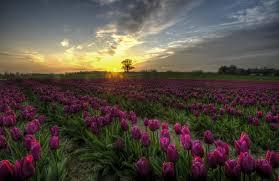 Tulip Field Picturesque Denmark Purple Tulip Field At Sunset