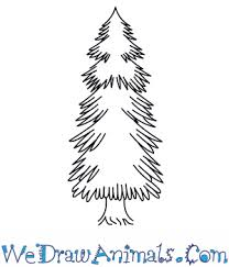 how to draw a spruce tree