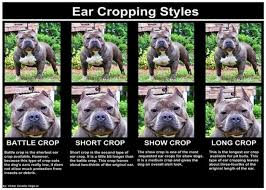 american pitbull terrier natural ears 3 different styles of ear crops for your american bully u2022 american