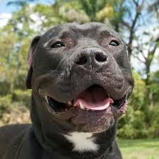 american pitbull terrier gator gator the american bulldog u0027s web page