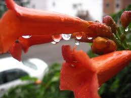 trumpet vine articles gardening know how