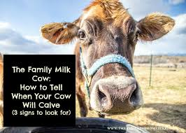 how to tell when your cow will calve there are 3 signs to look