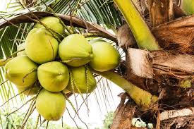 the parts u0026 the uses of coconut trees hunker