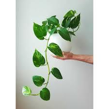 indoor vine plant indoor vine plants gorgeous indoor vines to grow in your home