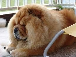 lions for sale testify five lions chow chow puppies for sale of