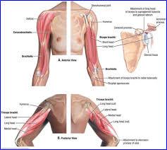 Muscle Anatomy Of Shoulder Duke Anatomy Labs 11 13 Upper Limb