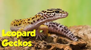 adopt a leopard gecko the lizard house reptile rescue youtube