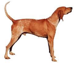 bluetick coonhound nh am e1377788678629 png