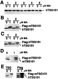 Flag Tag Tsg101 Protein Steady State Level Is Regulated Posttranslationally