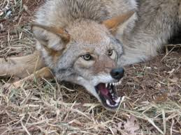 North Carolina wild animals images Winston salem coyote fox control piedmont wildlife services jpg