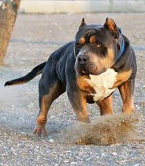 american pit bull terrier bully huge 100 pound xxl large male pitbulls bully xtreme animals