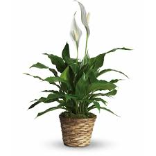 peace lilly peace spathiphyllum small in racine wi petals by felicia