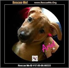 bluetick coonhound rescue nc north carolina redbone coonhound rescue u2015 adoptions u2015 rescueme org