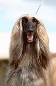 afghan hound utah what would a dog do april 2008 what would a dog do
