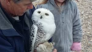 harwich conservation trust presents live owl show