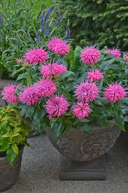 perennial garden vegetables pardon my pink u0027 bee balm monarda didyma dwarf bees and shorts