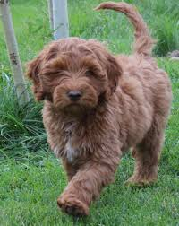 high country australian labradoodles