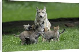 fra296st2 canvas print of european grey wolf cubs begging for