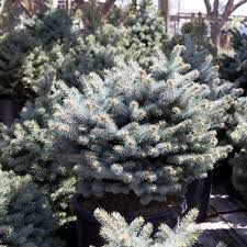 the family tree garden center evergreens bath garden center