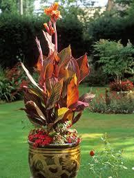 canna lilies canna planting choices growing canna hgtv