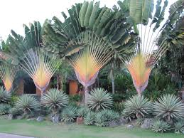 native plants of madagascar traveller u0027s tree ravenala madagascariensis this species of