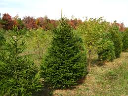 norway spruce hutton loyd tree farm