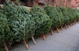live christmas trees for sale new bedford christmas tree collection schedule new bedford guide