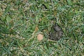 backyard beasts skunk diggings and droppings