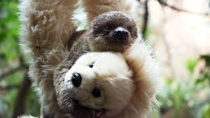 baby sloth clings to teddy at the zoo time