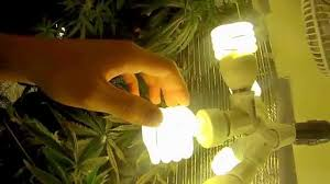 cfl lights for growing weed how to grow cannabis with cfl lights pt 1 youtube