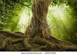 large tree stock images royalty free images vectors
