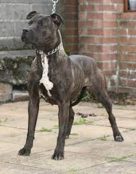 belgian shepherd x lurcher bull lurcher depicable me pinterest lurcher pit bull and dog