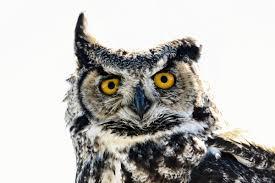 file great horned owl jpg wikimedia commons