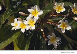 plumeria flowers photo of yellow plumeria flowers
