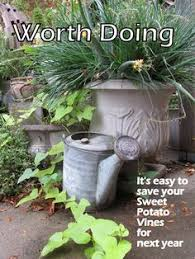 overwintering a sweet potato vine how to care for sweet potato