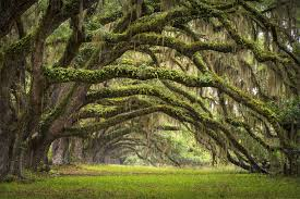 South Carolina forest images Oak tree forest south carolina photo one big photo jpg