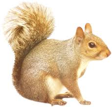 squirrel png images free download