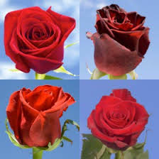 Global Roses Red Rose Delivery Global Rose Dream Home Inspiration
