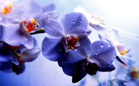 Blue Orchids Beautiful Blue Orchids 468 Wallpaper Themes Collectwall Com