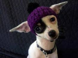 chihuahua sweaters beanie knitting chihuahua and
