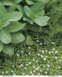 Non Invasive Climbing Plants - covering ground with creeping plants fine gardening