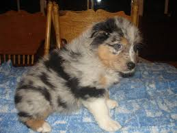 miniature australian shepherd 8 weeks new born puppies