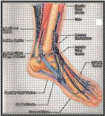 Anatomy Of A Foot Normal Ankle And Foot Anatomy