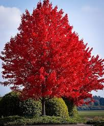 best 25 maple tree ideas on acer trees acer and