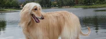 afghan hound national 2014 afghan hound rescue