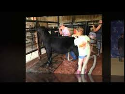 Show Steer Barns Lucky Strike Show Cattle Youtube