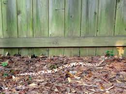 Found A Snake In My Backyard Copperhead Snake Found In Buckhead Back Yard Reporter Newspapers