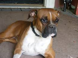 boxer dog origin dog names hundreds of suggestions by color breed size and